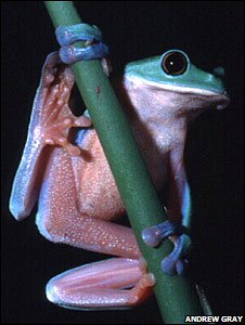 Yellow-eyed leaf frog