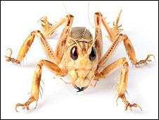 Schizodactylus
