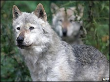 wolves - file photo