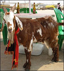 Goat wearing a MPLA scarf