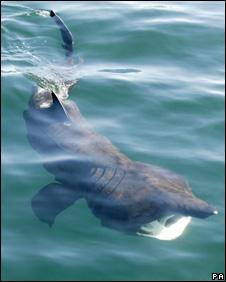 Basking shark. Pic: Colin Speedie/Swiss Shark Foundation/PA