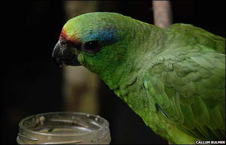 Parrot feeding from a jar at research facility in Manaus, Brazil