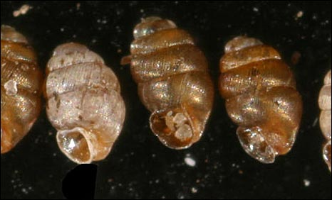 Narrow-mouthed whorl snails. (Pic by F. Welter-Schultes)