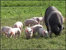 Organically raised pigs