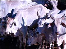 Cattle in Mato Grosso, Brazil (Image: Callum Bulmer)