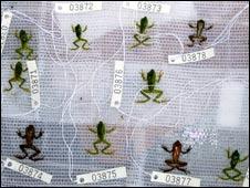 Dead frogs