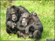 Chimps at Chester Zoo (Orlaith Fraser)