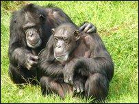 Шимпанзе в зоопарке Честера