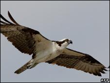 Osprey (generic)