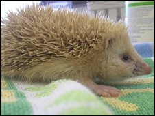 Blonde hedgehog (Pic: RSPCA)