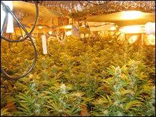 Cannabis factory in Barnet