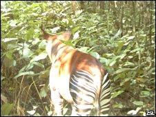 Okapi (ZSL)