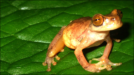 tree frog pictures. world#39;s rarest tree frog