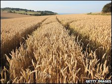 A field of wheat in Dover, UK