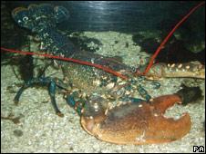 Eddy the lobster