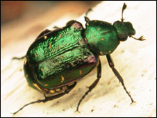 Noble chafer, photo by Matt Smith