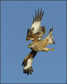 Red kite. Picture courtesy of the RSPB