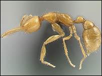 La hormiga de Marte (Imagen. C. Rabeling)