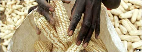 Maize cobs in Zimbabwe
