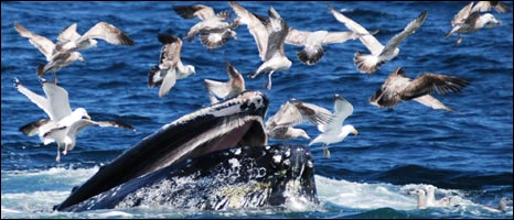 Humpback whale with gulls