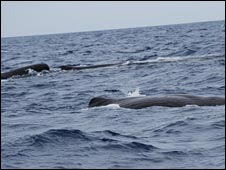 Sperm whales in the Azores