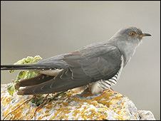 Cuckoo (Image: John Carey)