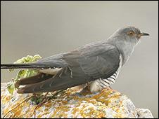 Cuckoo (Image: John Carey)