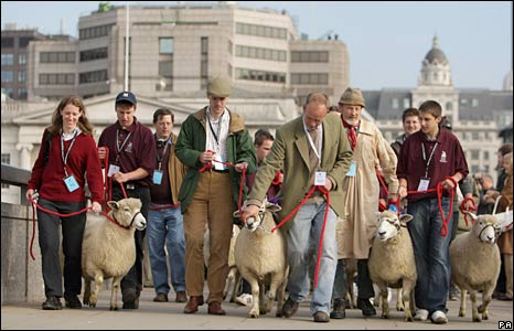 Romney ewes taken across London Bridge