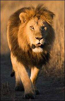Big Cat Live, lion (BBC)