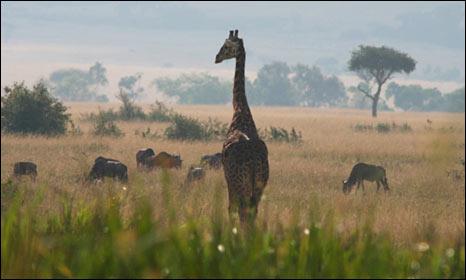 Big Cat Live, Kenya's Masai Mara Reserve (BBC)