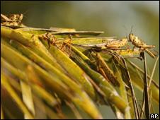 Locusts (Image: AP)