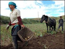 villagers picking potatoes