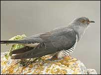 Pájaro Bobo (Foto: John Carey)