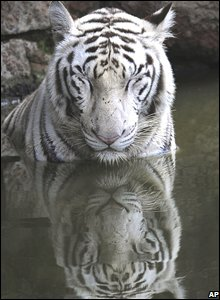 White tiger in Hyderabad, India, 23 September 2008
