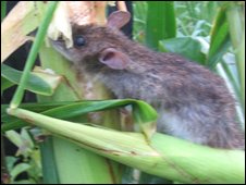 A rat eating maize