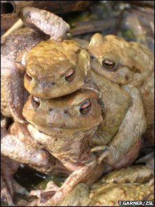 Common toads in a mating ball (Image: Trent Garner/ZSL)