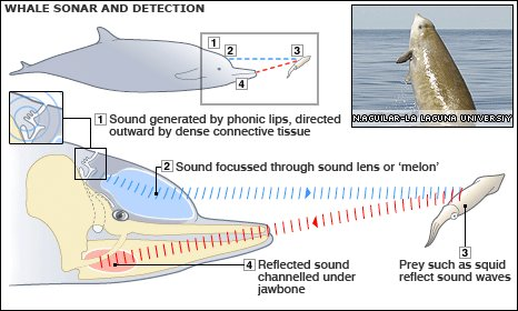 Whale sonar infographic