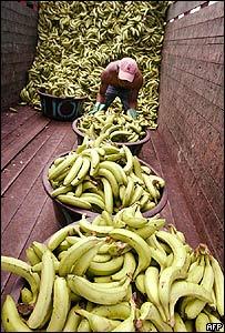 Bananos de Ecuador.