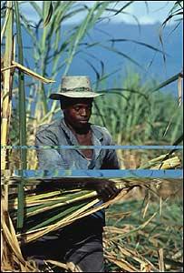 Cultivo de caña de azúcar en Colombia