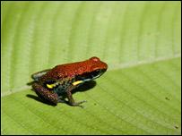 Rana de la Amazonia