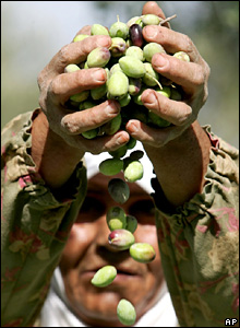 A Palestinian woman throws olives in the air to separate them from leaves during the harvest in the West Bank village of Zababah