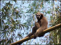 A Western Hoolock Gibbon