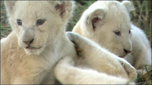 white lion cubs photos. Rare white lion cubs born
