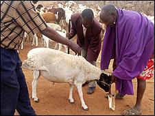 Herdsmen putting an olor on a goat
