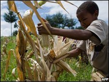 Kenyan boy helps pick maize (file photo)