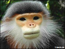 Critically Endangered grey-shanked douc langur (Image: Tilo Nadler)