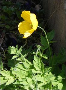 Beautiful, yellow Welsh poppy