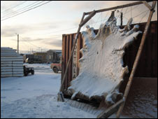 "A polar bear skin hanging outside an Inupiat house. ""taken"" some two weeks ago"