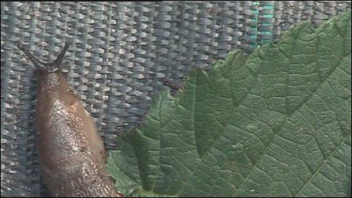 Bbc News Uk England Slugs 39 Good For The Garden 39