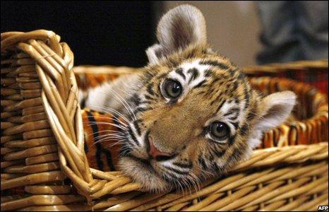 схема плетения тигра.